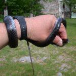 zmija crna poljarica
